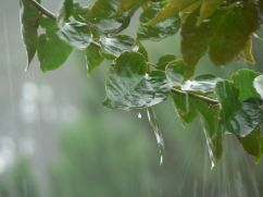 Image of vine leaves being rained upon