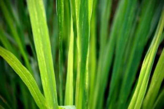 Lemongrass | bluebutte...